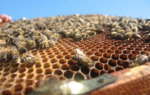 02 Bees on a Honey Comb